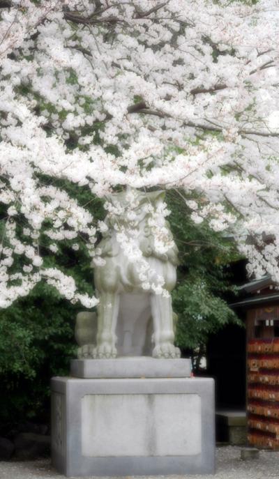 狛犬と桜1