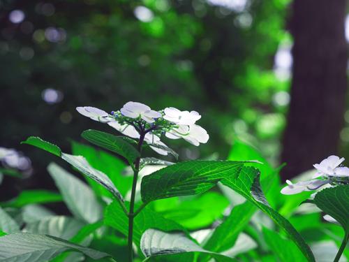 白いアジサイ2