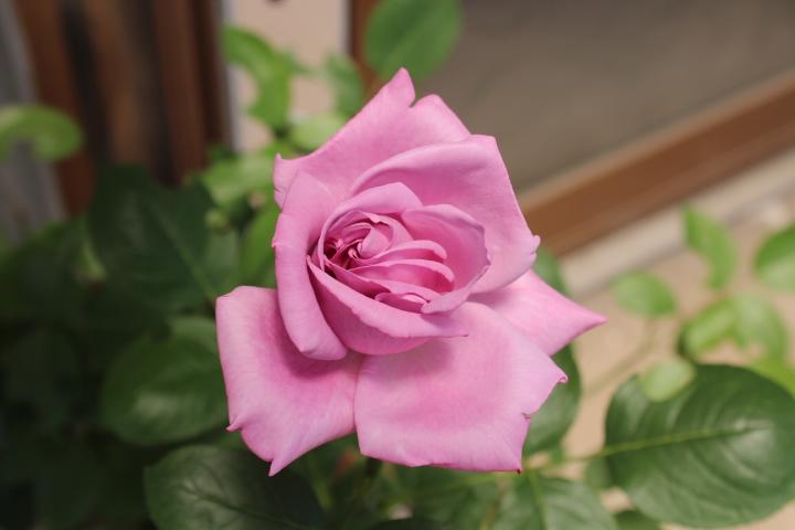 お嬢のバラ