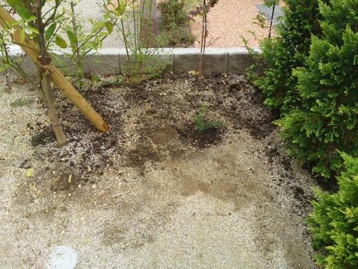 20120514002_庭に植えたアスパラガス