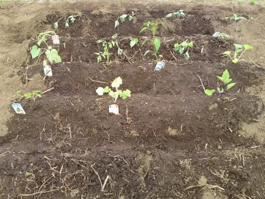20120515002_畑に植えた野菜
