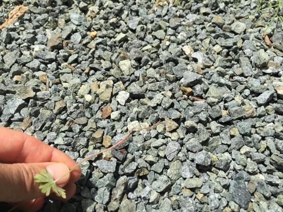 20150526007_砂利に生えた雑草は簡単に抜ける