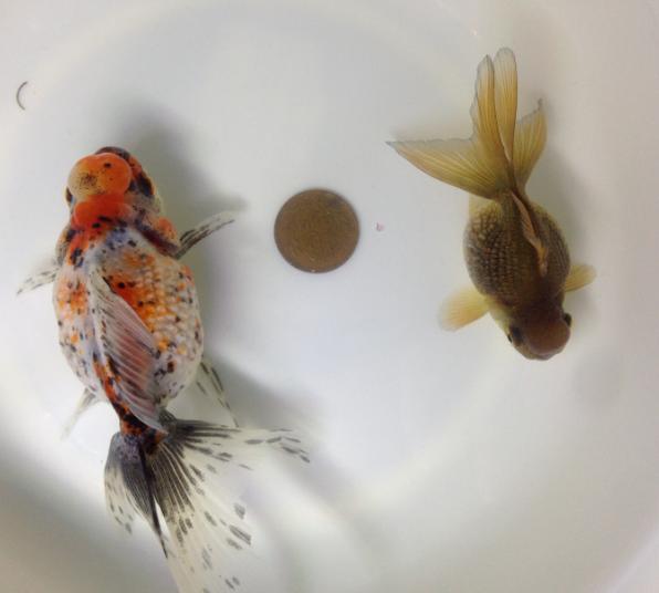 パール親魚