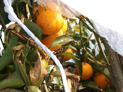 1.18柑橘