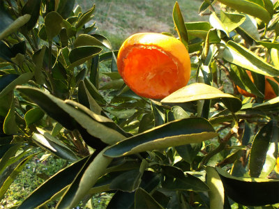 2.20鳥に食われた柑橘