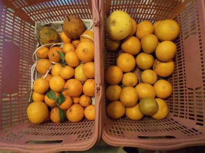 2.20収穫した柑橘