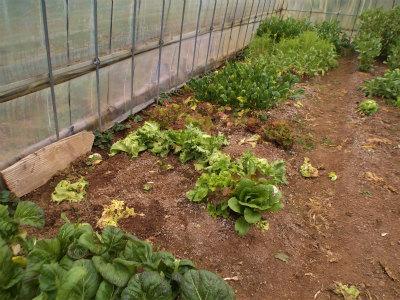 2.28ハウスの野菜