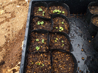 3.7ポット苗も芽が出る2