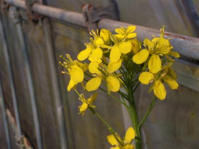 3.14ハウスの菜の花2