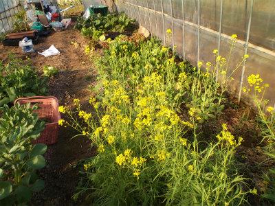 3.14ハウスの菜の花3