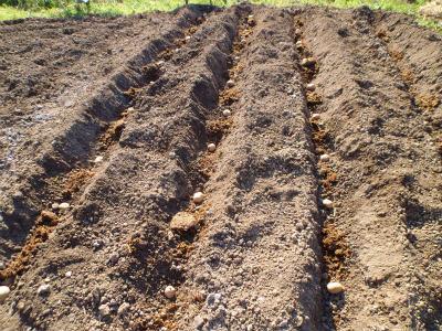 3.28ジャガイモ植え