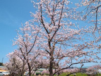 4.2桜が満開