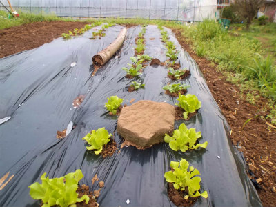 4.4マルチに植えた野菜が元気