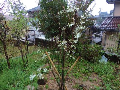 4.5ジューンベリーの花