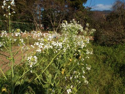 4.11大根の花