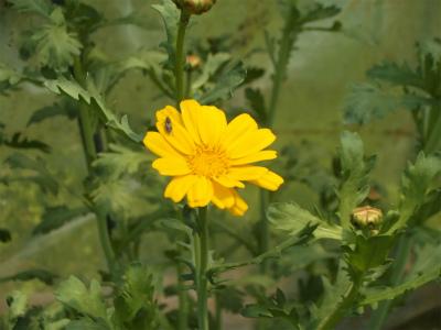 4.25春菊の花