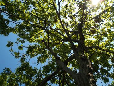 4.30栗の木