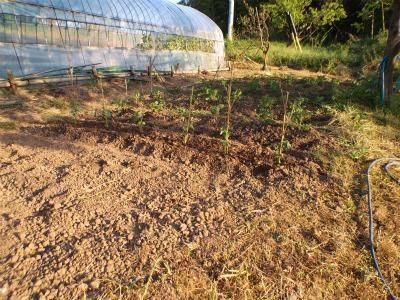 5.5ジャガイモの土寄せ