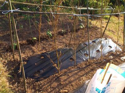 5.9モロッコ豆・支柱づくり