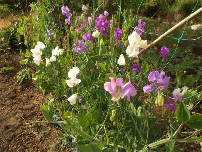 5.18エンドウの花