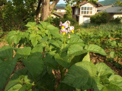 5.18ジャガイモの花