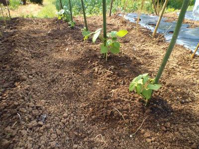 5.17蔓なしモロッコ豆