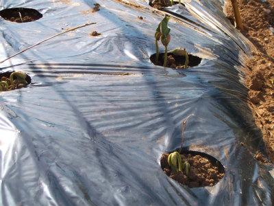 5.24蔓ありモロッコの芽出し
