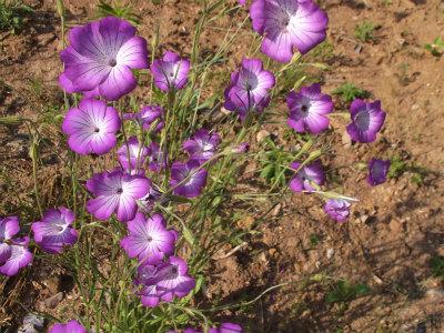 5.24前の庭の花1