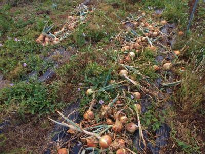 6.6タマネギの収穫