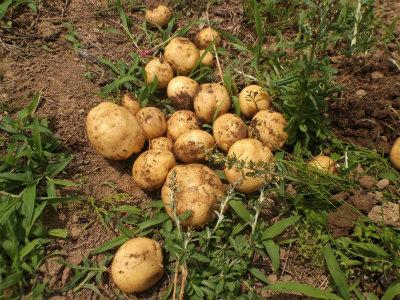 6.14ジャガイモ初収穫