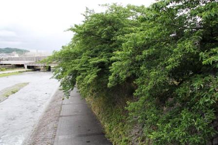 塩小路橋の桜の木_H27.06.06撮影