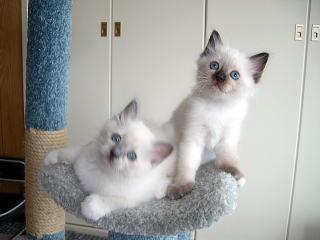 子猫のディーバカイラス