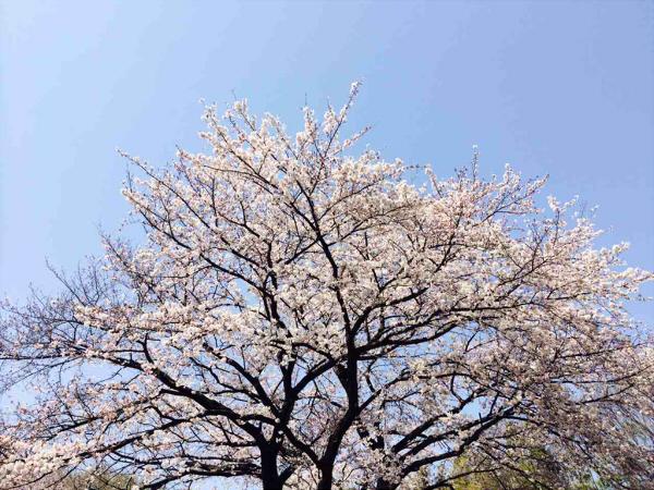 桜_2015