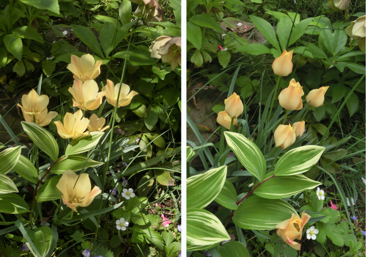 20150423_2 tulips_yellow