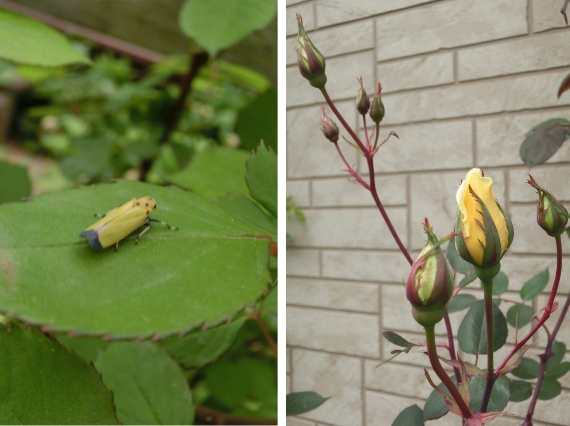 20150423_rose_insect.jpg