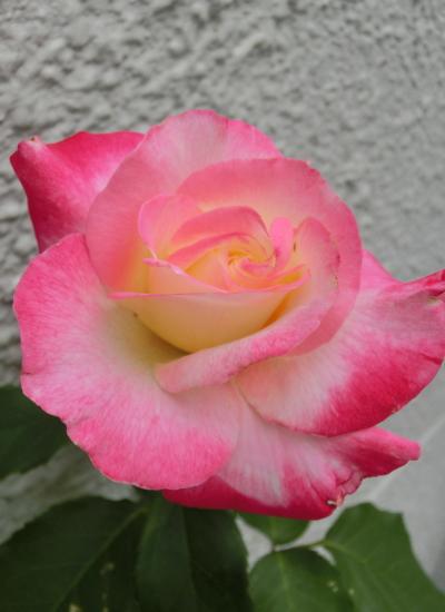 20150510_rose02s__double_joy.jpg