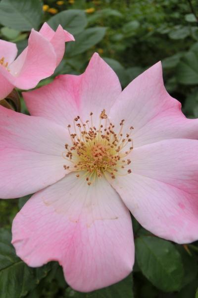 20150529_01_sp_rose.jpg