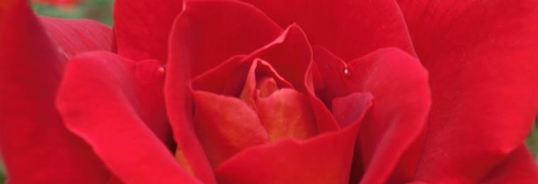 20150601_red_rose01.jpg