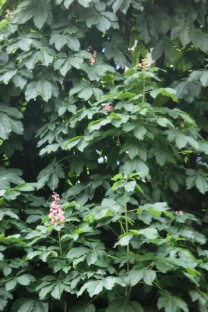 20150607_red chestnut 01