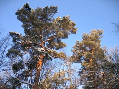 pine01_s1.jpg