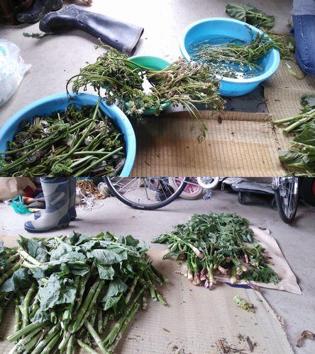 2015山菜の収穫1
