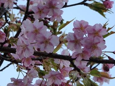 314桜1