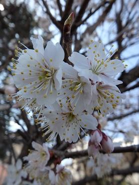 314桜2