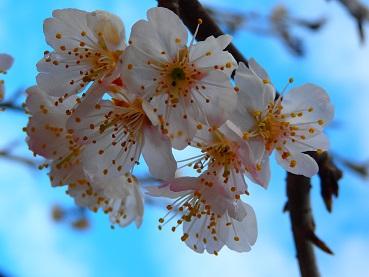 321桜2