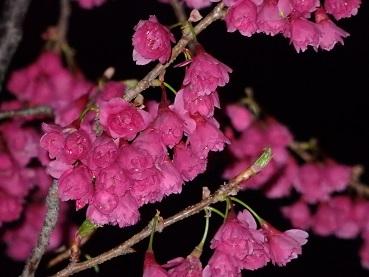 328桜2