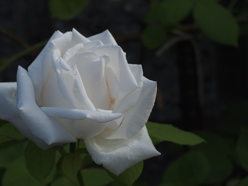 フラウカール・ドルシュキ(つる薔薇)
