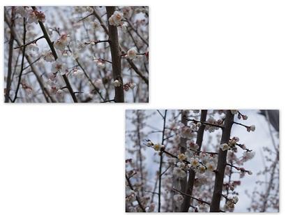 2015-02-27 紅梅・自宅近くにて3
