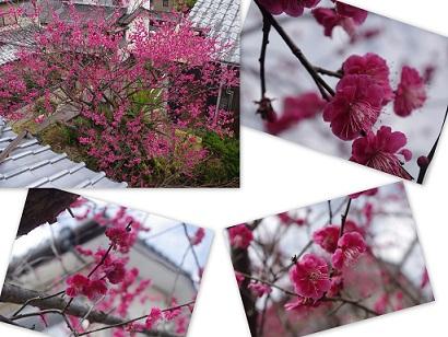 2015-02-27 紅梅・自宅近くにて4