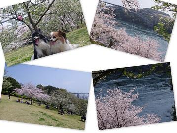 2015-04-02 ドッグランと花見