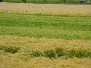 067 麦畑